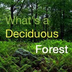 whats a decidous forest